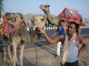 Indian Camels