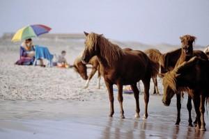 Assateague Island Ponies
