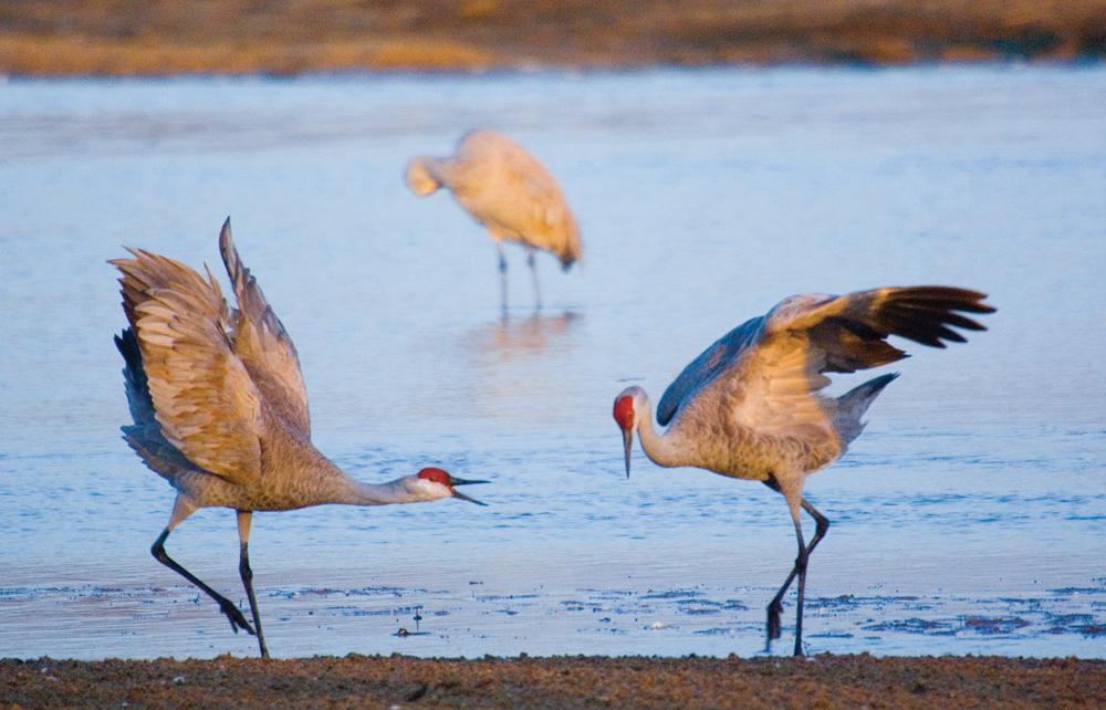 Sandhill Crane Migration, Central Nebraska.