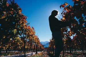 Hot days and cool nights help to produce exceptional pinot noir in New Zealand's Central Otago wine region. (David Wall Photo)