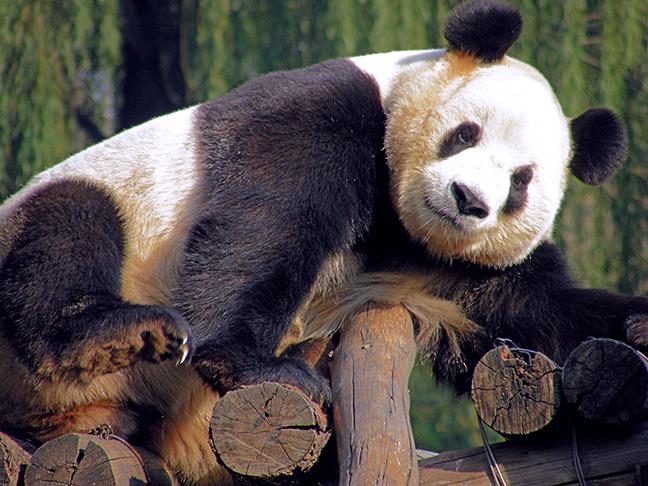 Panda at the Beijing Zoo