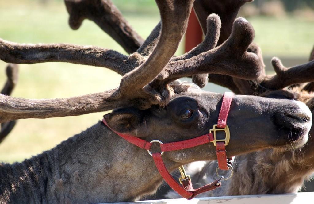 Hardy's Reindeer Ranch, Rantoul