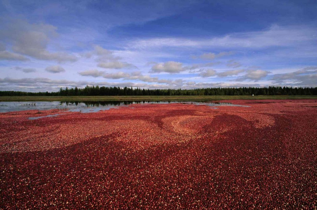 Stunning swaths of crimson paint Central Wisconsin at cranberry harvest time.