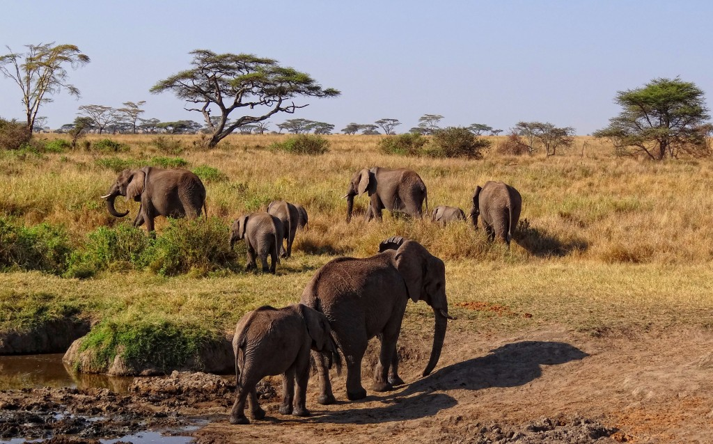 Serengeti African Elephants