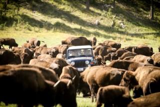 Buffalo Roundup at Custer State Park