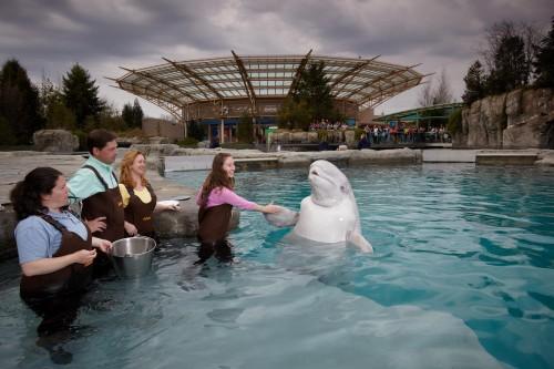 Mystic Aquarium Beluga1