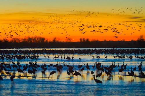SandhillCranes_Rowe3_12_200_All seeing cranes