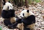 New Giant Pandas in Shanghai Zoo