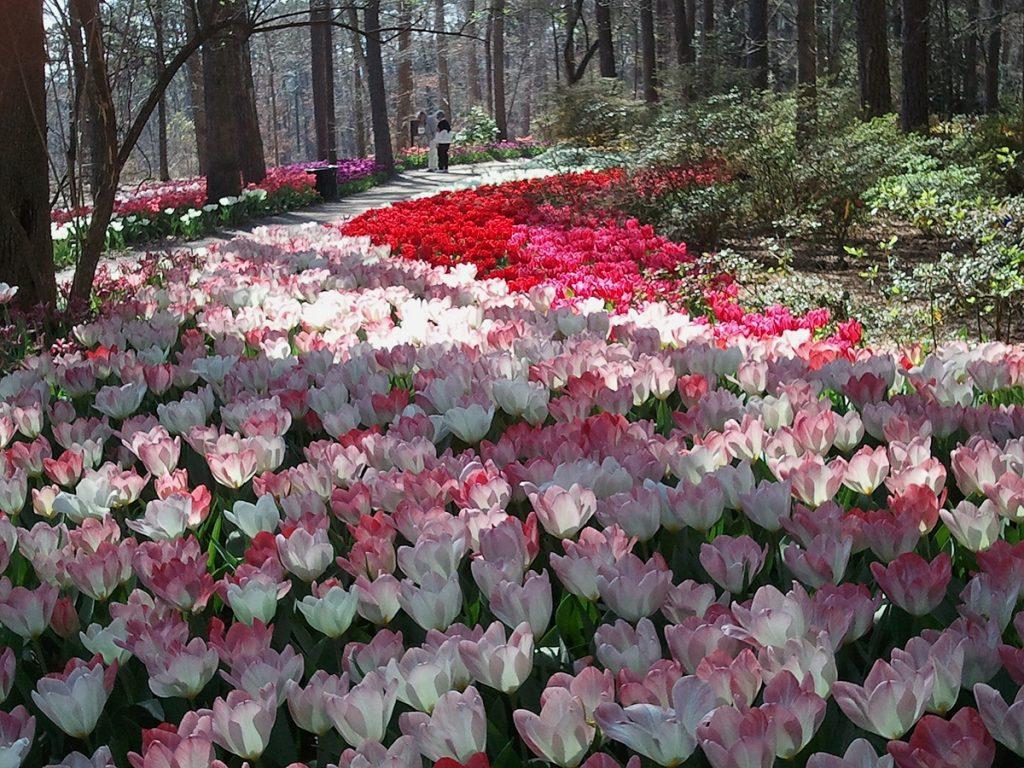 Tulip Extravaganza at Garvan Woodland Gardens - Arkansas
