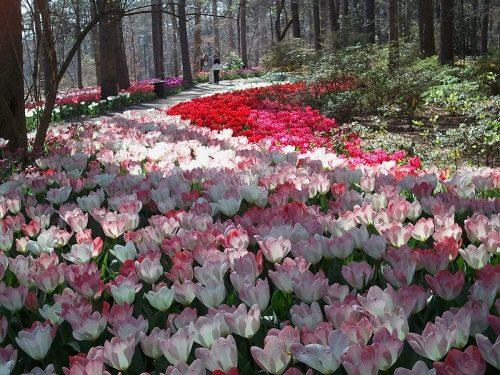 Tulip Extravaganza at Garvan Woodland Gardens