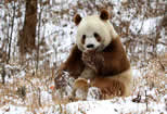 China Plans Park for Giant Pandas