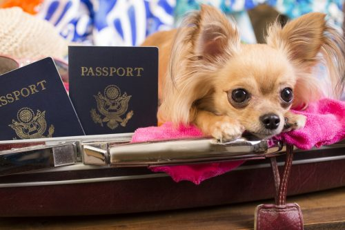 Chihuahua dog inside suitcase packed for tropical summer vacation.