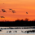 Audubon Crane