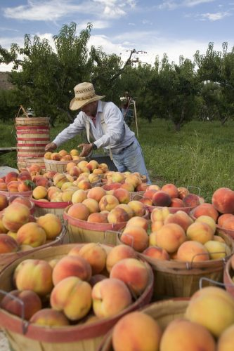 Freshly picked peaches in Palisade