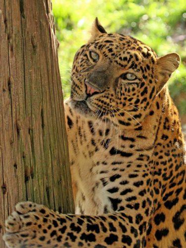 Black Pine Leopard