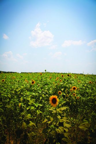 Sunflower scenic