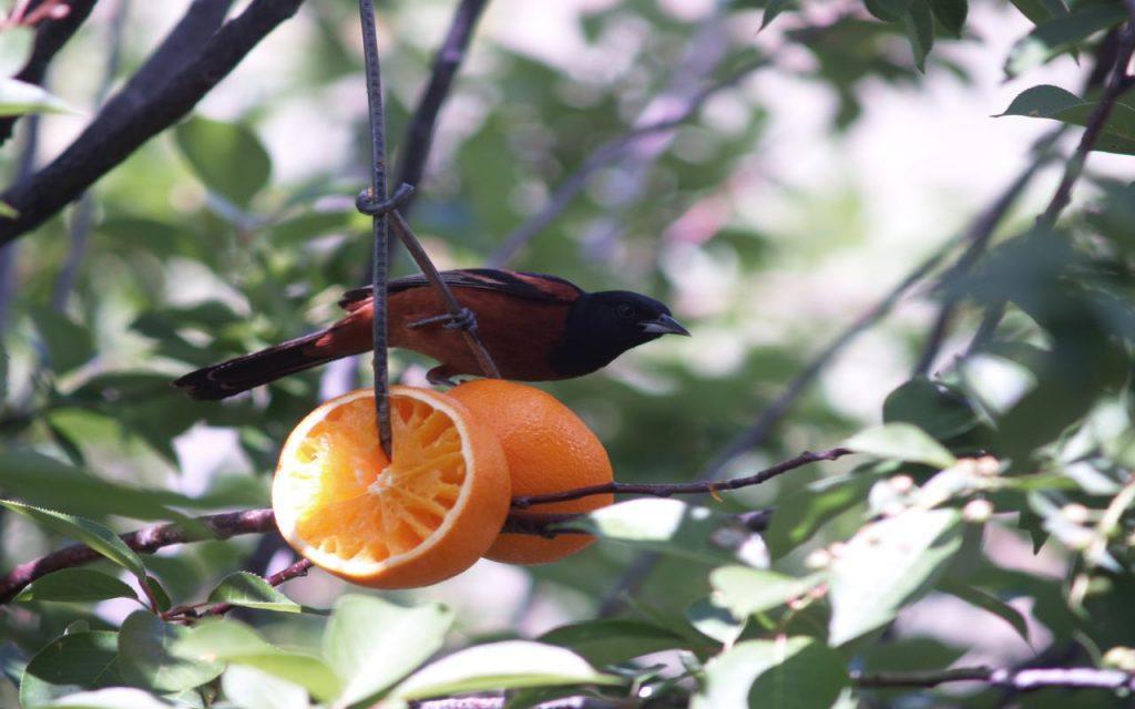 Orchard Oriole - colorado state park