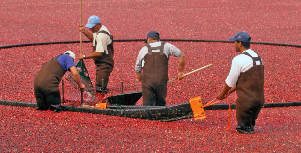 Nantucket cranberry harvest