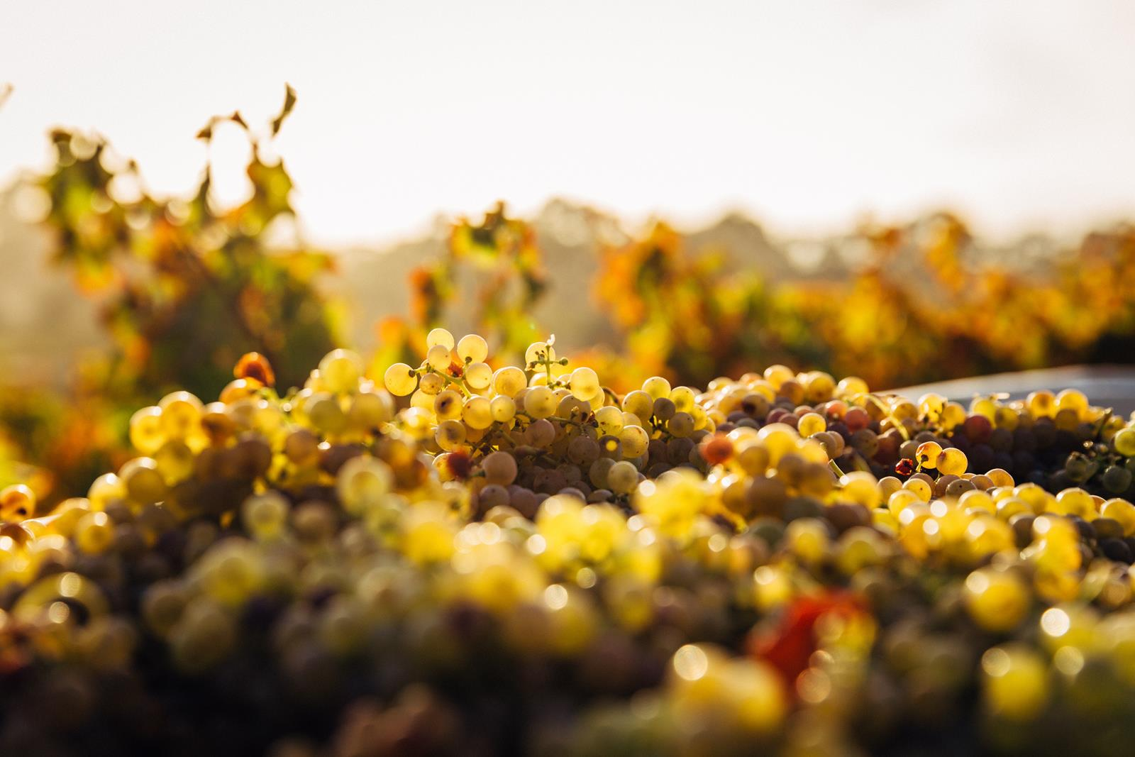 Barossa Valley Wine Region