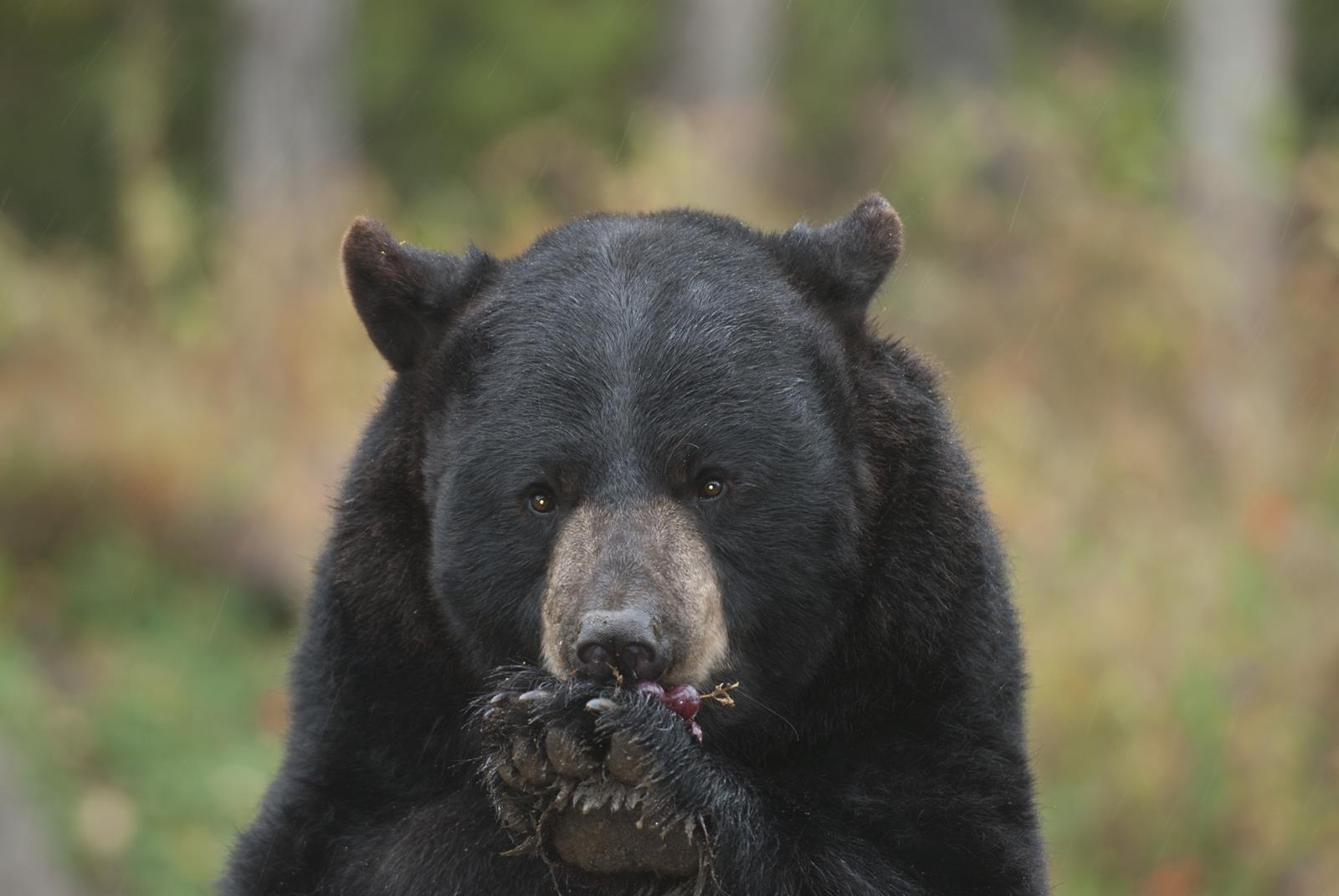 North American Bear Center in Ely