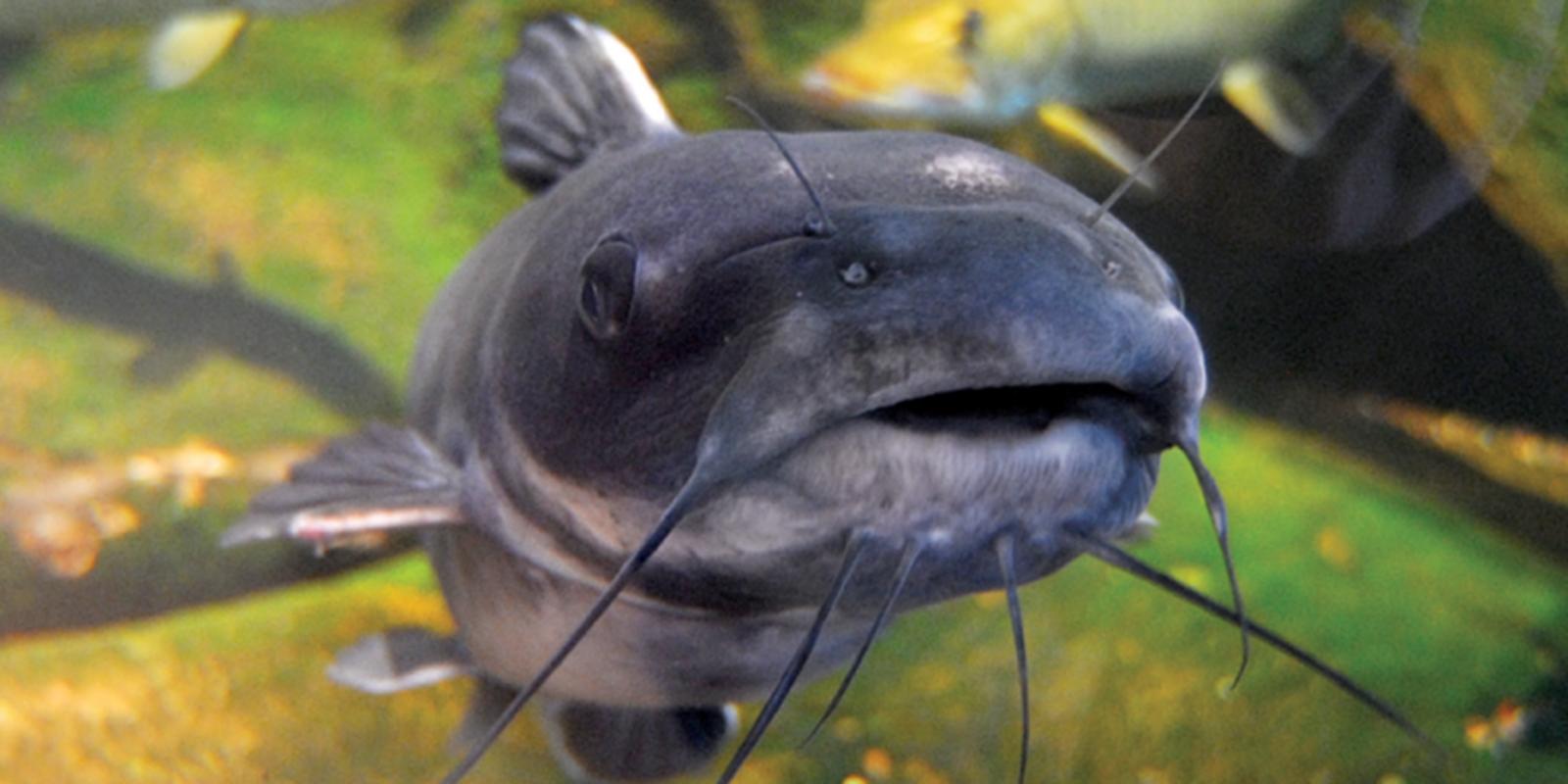 Catfish at Great Lakes Aquarium