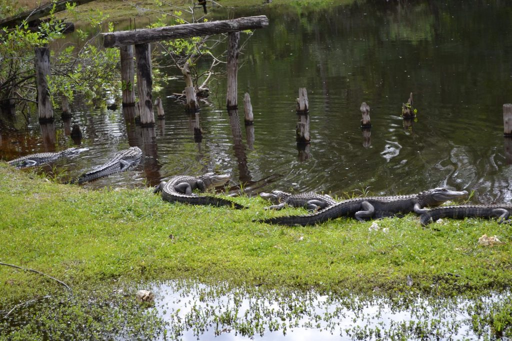 At 18,000-acre Telegraph Swamp visitors can see a variety of swamp creatures such as these alligators